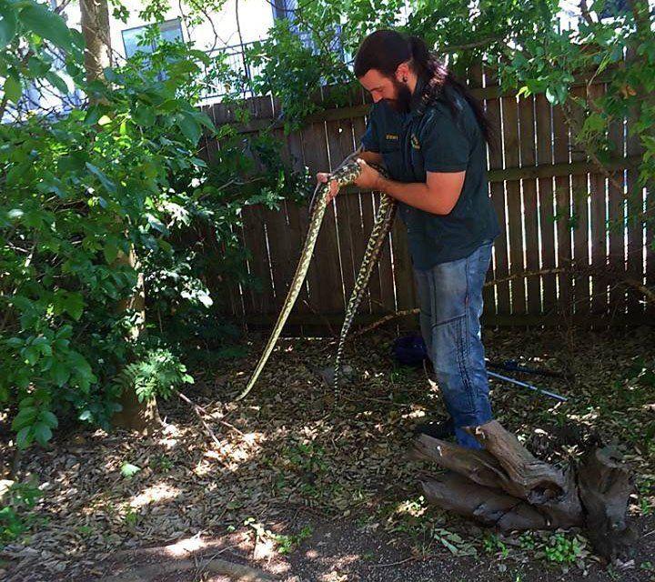 Gravid carpet python