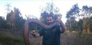 snake catchers - red belied black snake