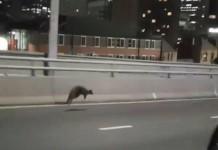wallaby stops traffic sydney harbour bridge