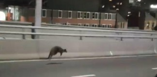 wallaby stops traffic sydney harbour bridge