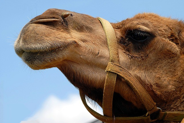 The many benefits of camel milk