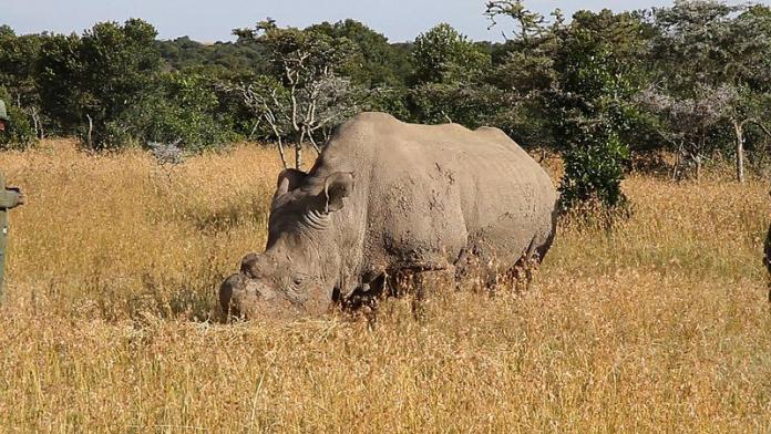 Last white rhino dies