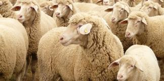 The Department of Agriculture has said that there won't be any reactionary moves prompted by the deaths of thousands of sheep who were transported to the Middle East via live export. Despite this reassurance, there are concerns within the agricultural industry that their trade will be damaged.