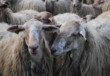 Agriculture Minister responds to live export sheep deaths video