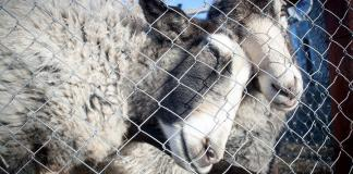 Government rejects calls for live export ban amid increasing pressure