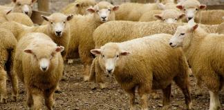 64,000 sheep shipment may be blocked following live export scandal