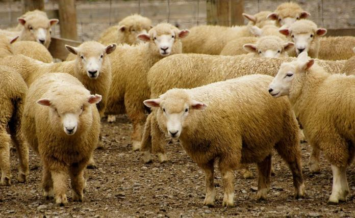 64,000 sheep shipment may be blocked following live export scandal