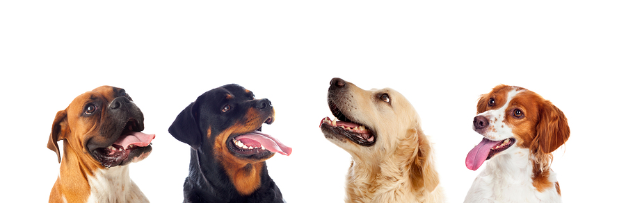 Many dogs isolated on a white background