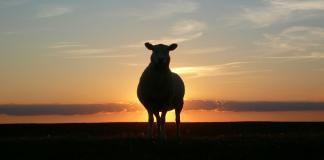 Emanuel Exports wants to ship stranded sheep through subsidiary