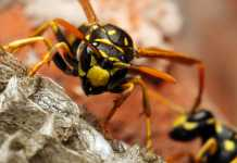 Insect insights - a guide to dealing with wasp nests