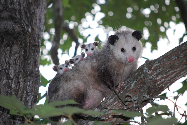Possum family in a tree