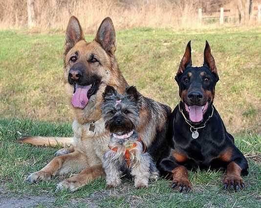 20 most popular dog breeds