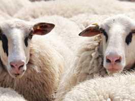 live export sheep
