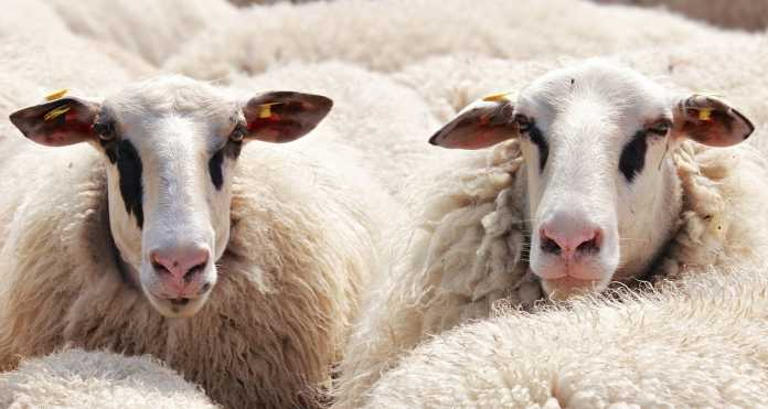live export sheep