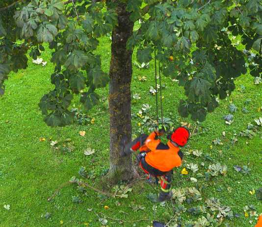 Why tree lopping treatments can be controversial for some