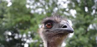 Is emu oil right for you The rising popularity of this oil in Australia