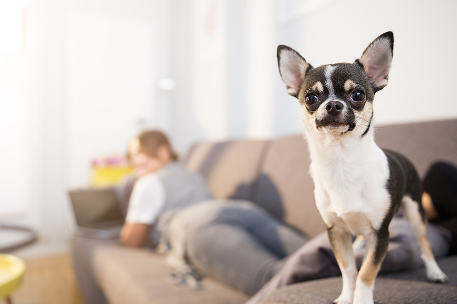 Close up portrait of small dog standing on couch with his owner using laptop on second plan.