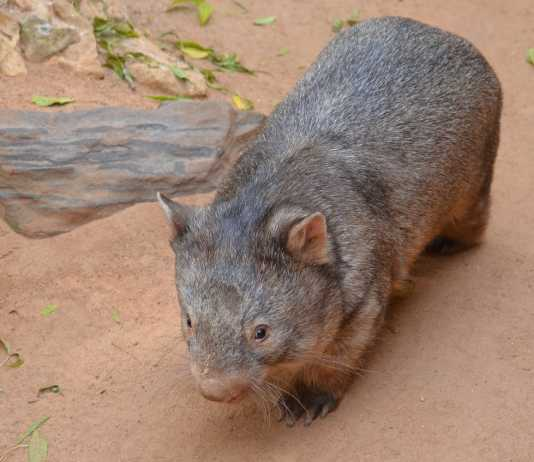 wombat facts
