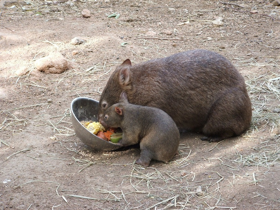 wombat protection