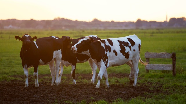 How does the modern dairy industry work?
