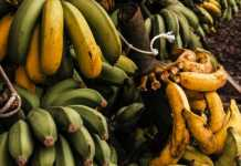 "Banana-killing fungus ""a danger"" to Ecuador's economy"