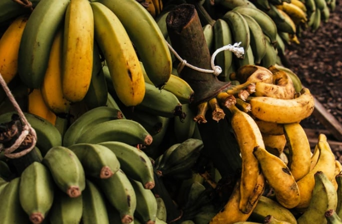 "Banana-killing fungus ""a danger"" to Ecuador's economy"