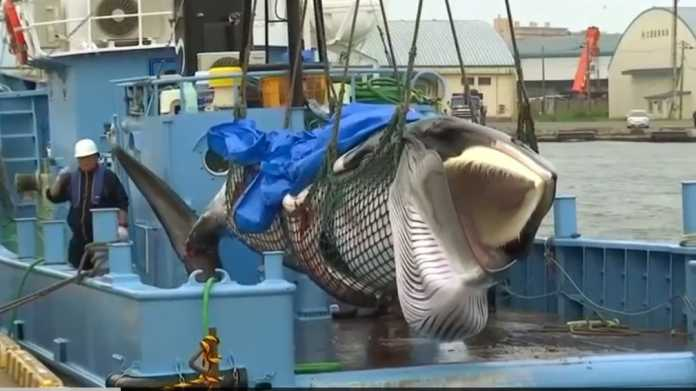See photos of Japan's first catch after controversial return to commercial whaling