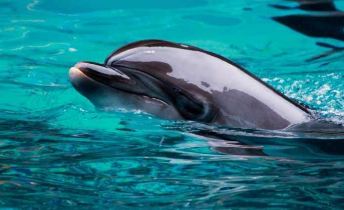 """New Zealand bottlenose dolphins are """"being loved into extinction"""""""
