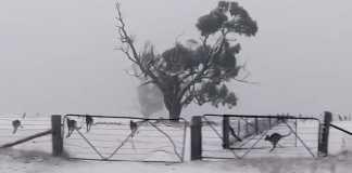 Kangaroos pounce about amid rare snowfall in Australia