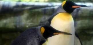 Gay penguin couple from he Berlin Zoo adopt an abandoned egg