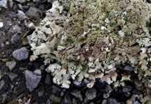 Forbidden food: Scientist warns against licking 'sexy pavement lichen'