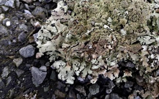 Forbidden food: Scientist warns against licking'sexy pavement lichen'