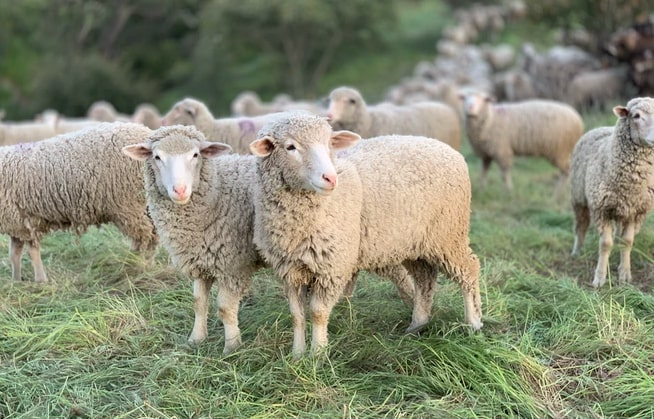 Scientists breed mutant sheep to combat fatal child brain disease