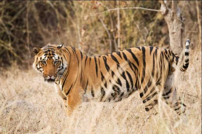 Over 2,000 tigers are hunted and illegally trafficked in this century
