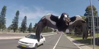 Cyclist in Australia dies trying to avoid swooping magpie