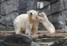 """Polar bears """"aren't feeding"""" as Arctic ice melt rapidly"""