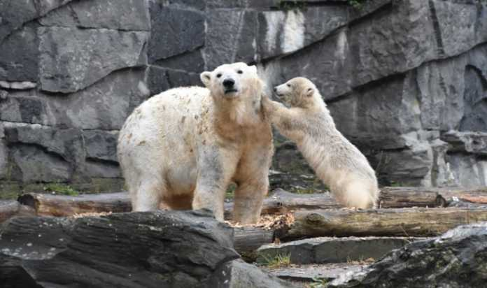 "Polar bears ""aren't feeding"" as Arctic ice melt rapidly"