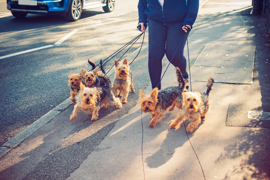 Yorkshire Terrier dogs on the city street