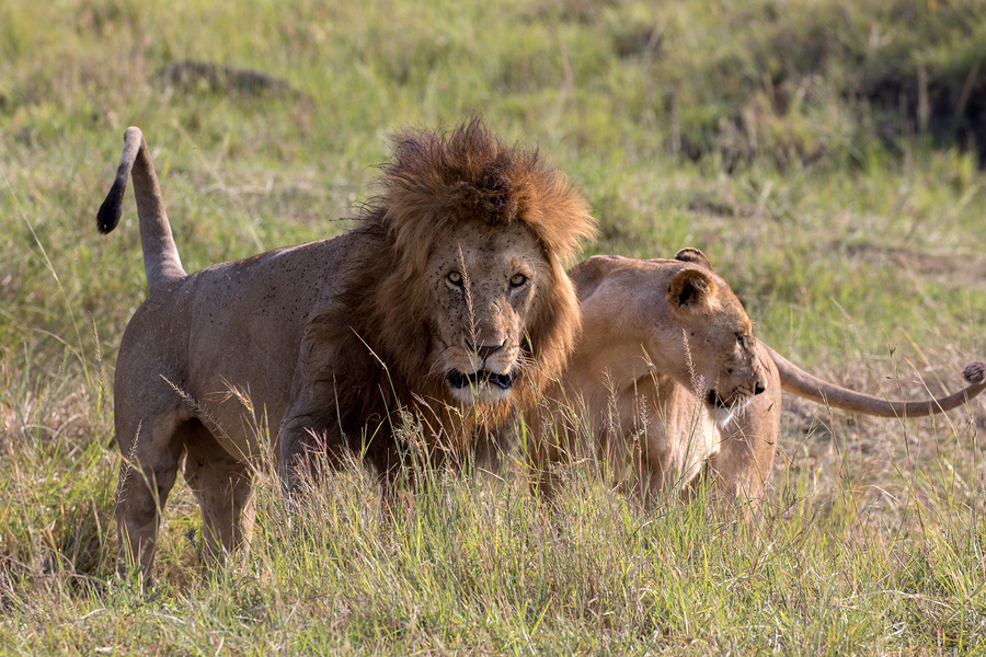 safari Masai Mara National Reserve, Kenya