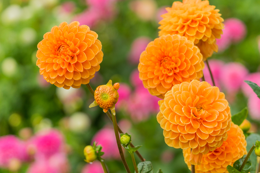 Orange Ball Dahlia Flower