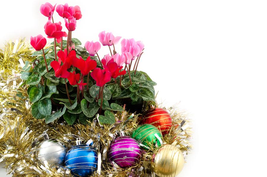 Christmas cyclamen