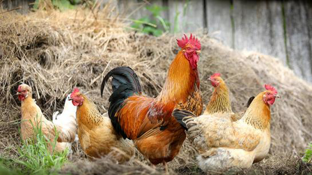 Make a living by raising chickens An Interview with Blue Star Ranch