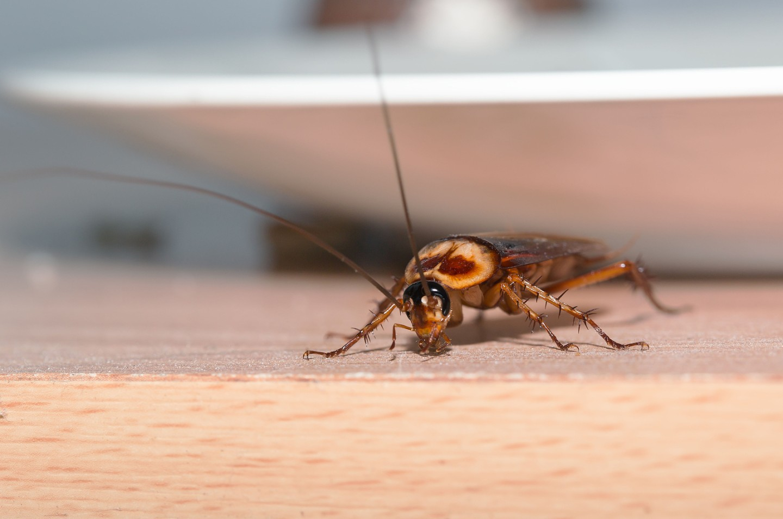 Cockroach pest prevention