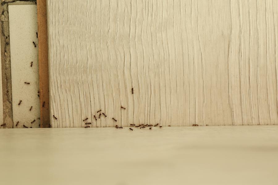 ants home